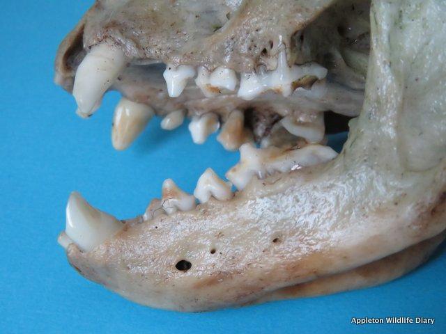badger teeth