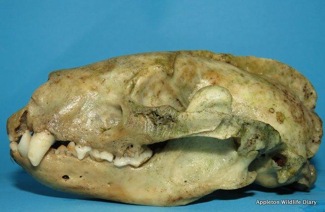 Side on skull