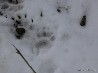 Badger footprint