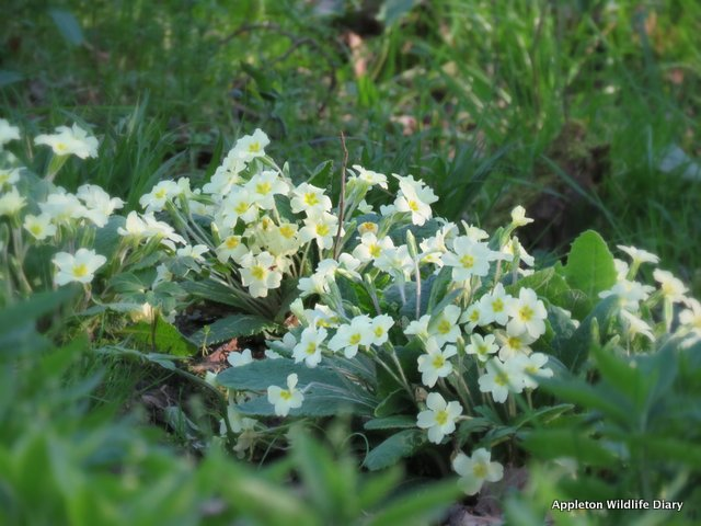 Primroses on bank of stream