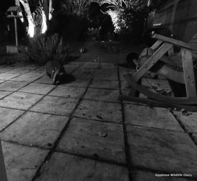 2 badgers arrive