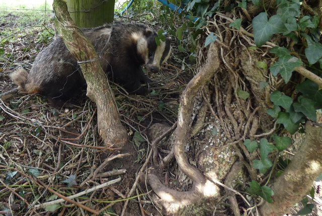 badger in snare