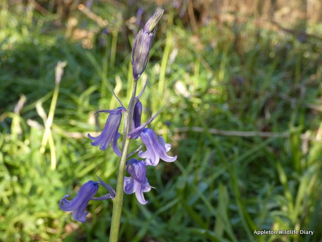 First flowering Bluebells