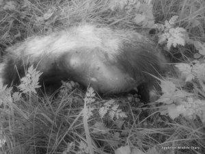 RTA badger