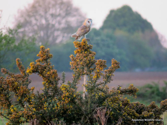 Barn owl on post