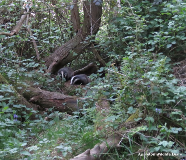 Badger cubs x 2