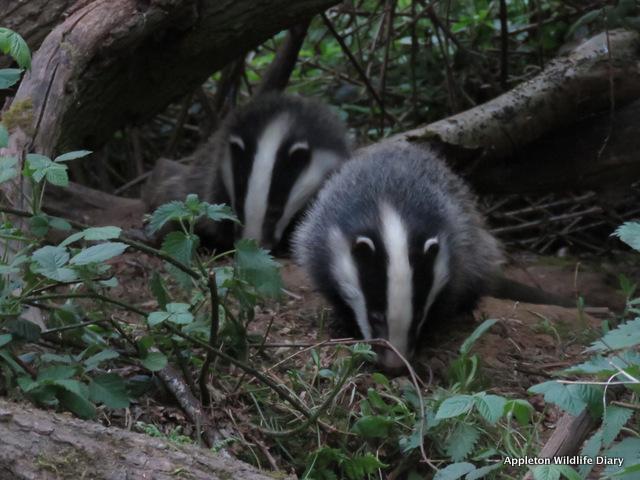 2018 badger cubs
