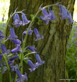 Native bluebells (Hyacinthoides non-scripta)