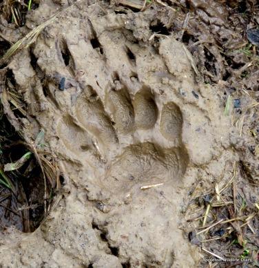 Badger footprint