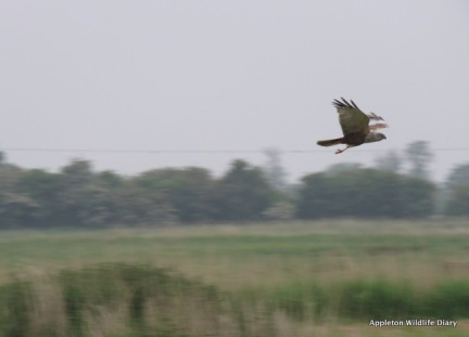 Marsh Harrier 2