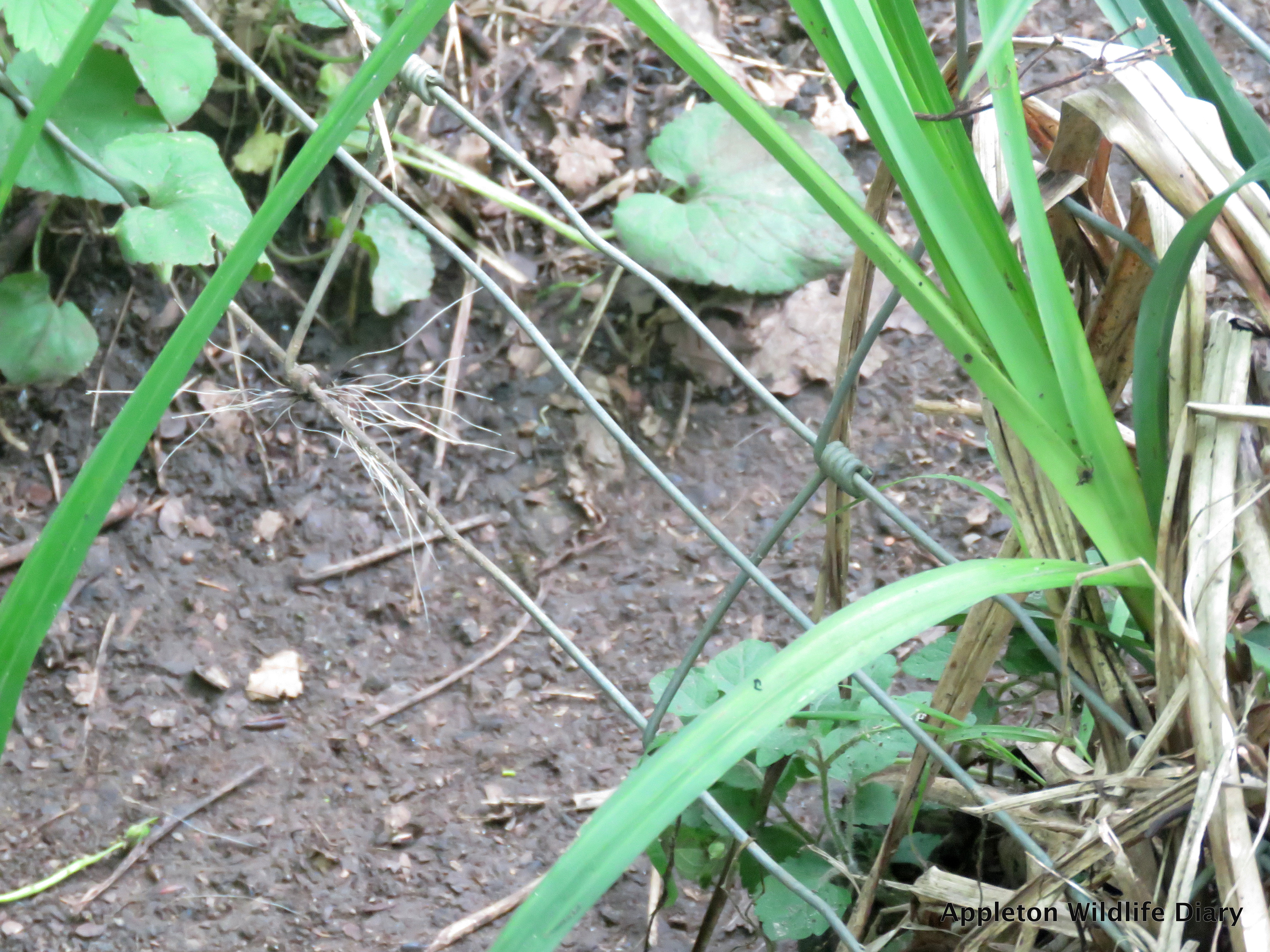 Badger hair caught on wire | Appleton Wildlife Diary by Alex White