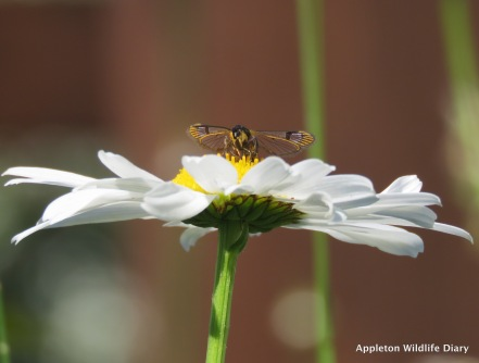 Current Clearwing moth