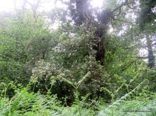 ferns and honeysuckle