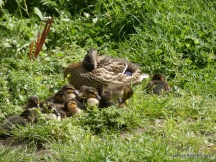 mallard and ducklings