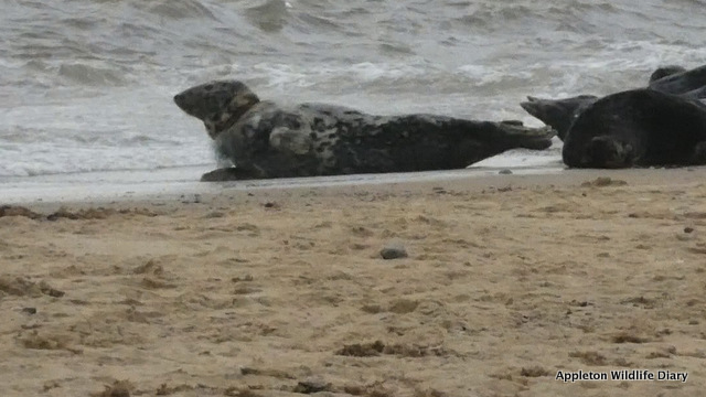 Still from video of seal with netting