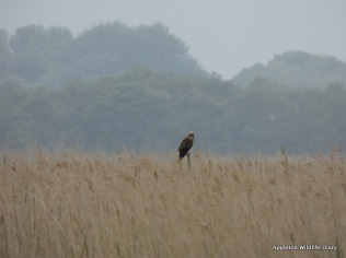 Marsh Harrier resting