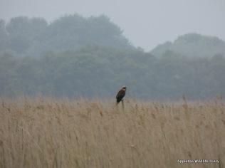 Marsh Harrier resting