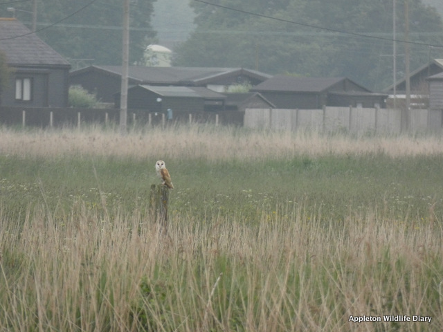 Barn owl Norfolk
