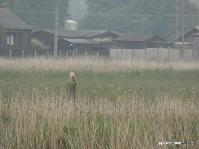 Barn owl Norfolk