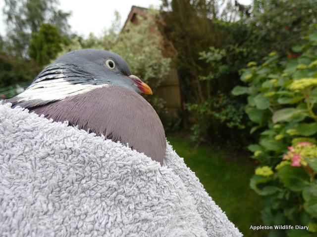 Caught pigeon