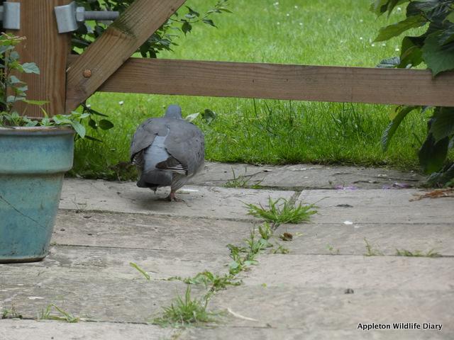 Free pigeon