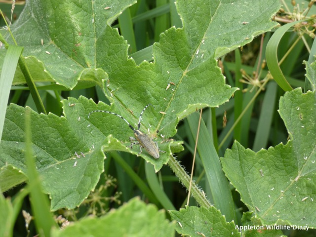 Golden-bloomed Grey Longhorn - Agapanthia villosoviridescens