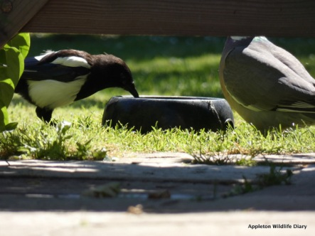 Magpie drinking from old dog water bowl