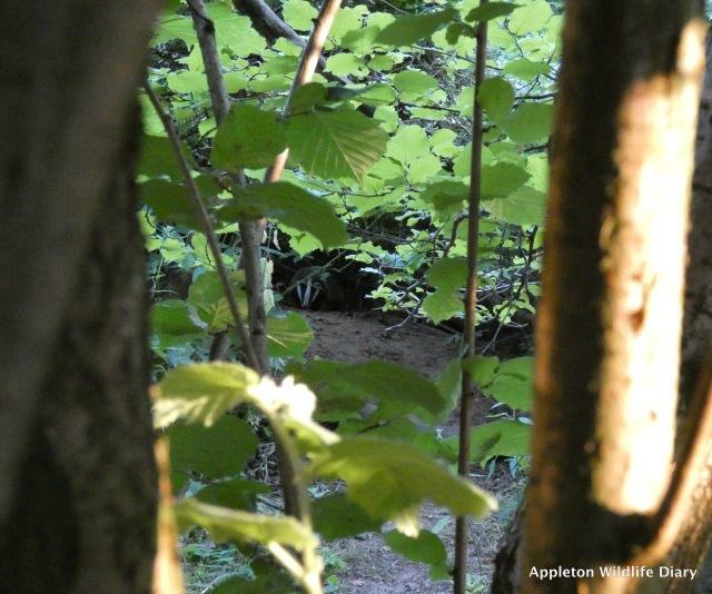 View of badger from my hiding place