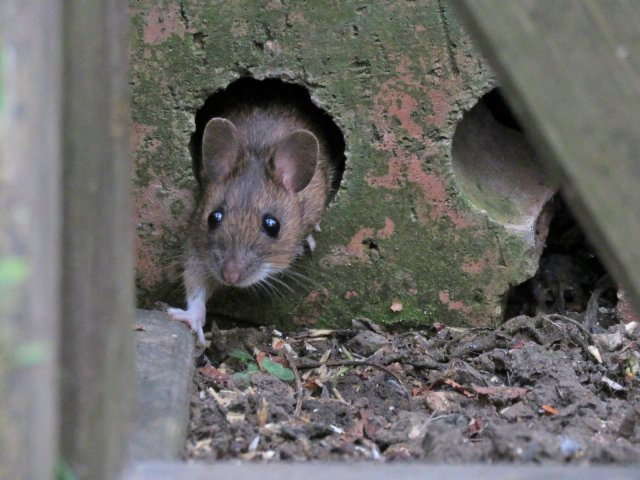 Scavenging mouse