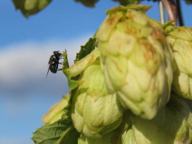 Fly on wild hops
