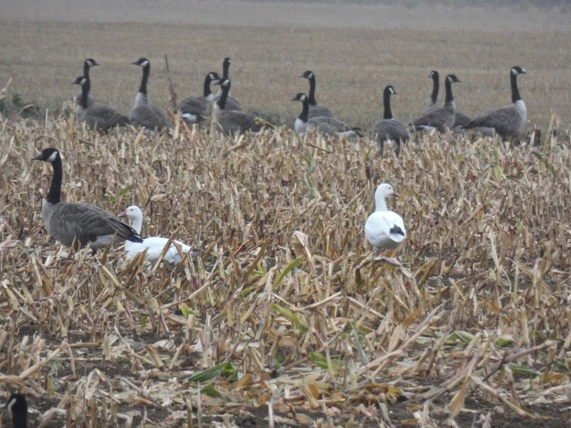 Snow Geese amongst Canada Geese