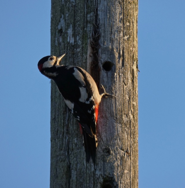 Great Spotted woodpecker in garden