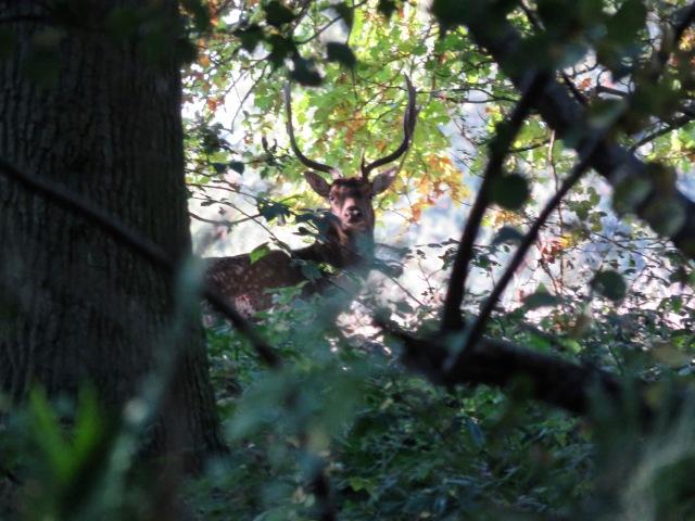 Male Fallow deer