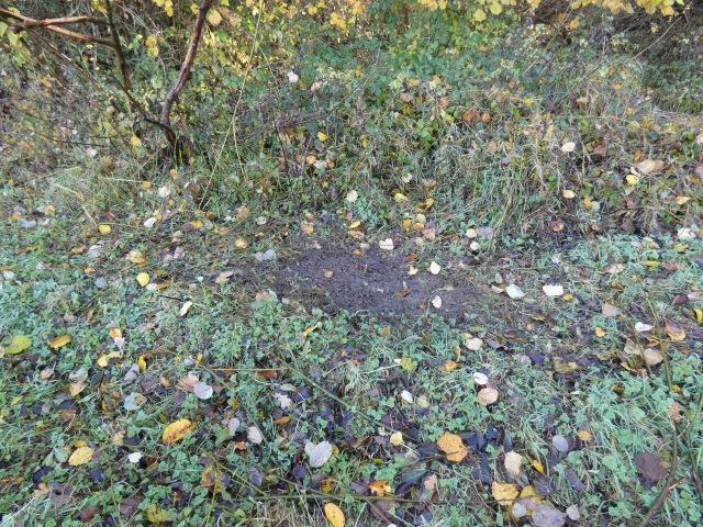 Fallow deer scrape