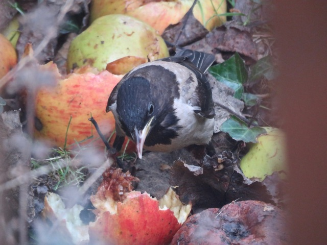 Rose-coloured Starling 05