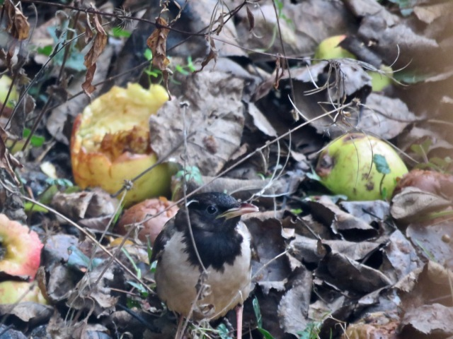 Rose-coloured Starling 03