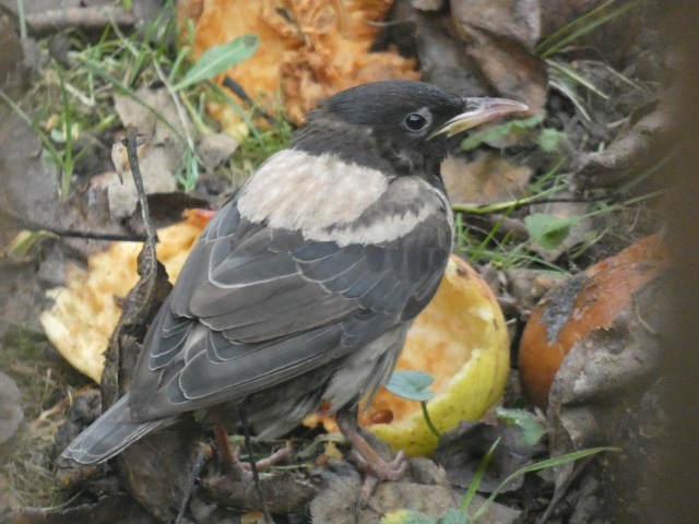 Rose-coloured starling 04