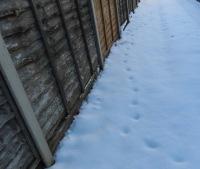 Someones been in the garden (fox)