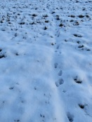 Badger footprints leading across the field