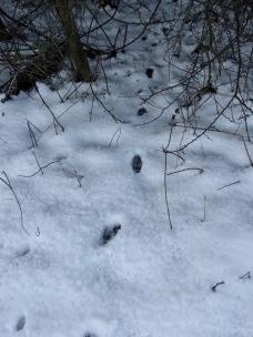 More badger footprints
