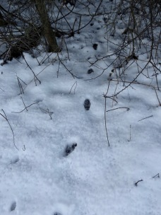 More badger footprints