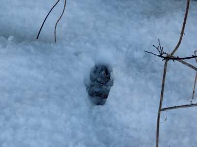 Another badger footprint