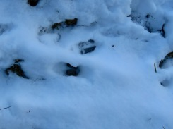 Deer footprints