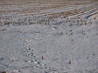 Dog footprints