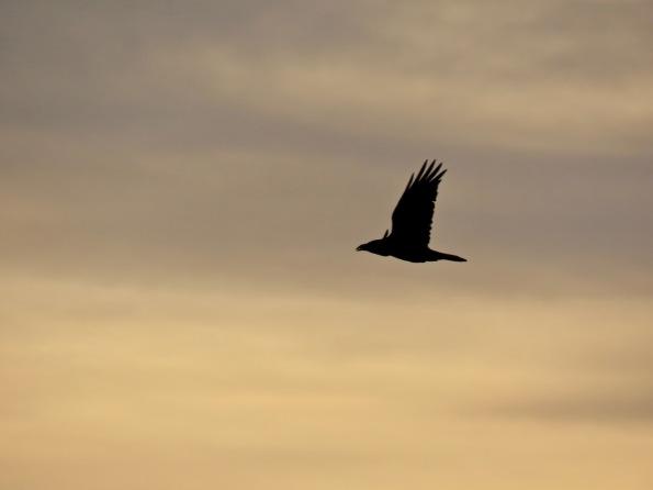 Raven overhead