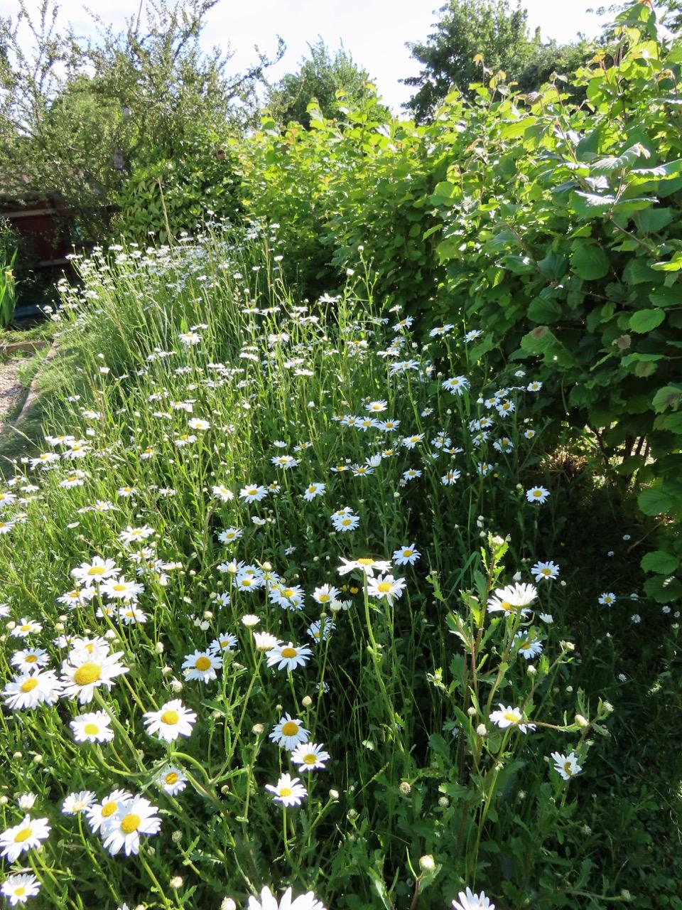 Oxeye daisies in garden