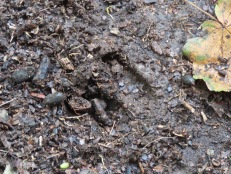Fallow deer print