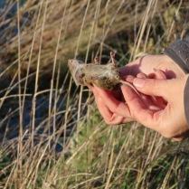 Male field vole