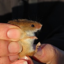 Close up harvest mouse