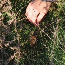 Releasing a harvest mouse